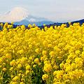 Photos: 吾妻山公園の菜の花大量咲き