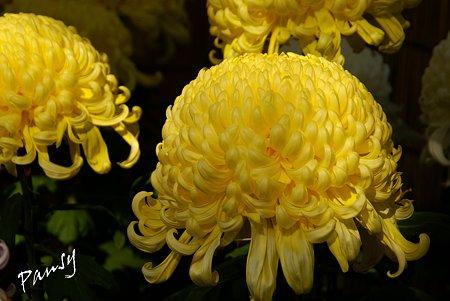 菊の花・・4