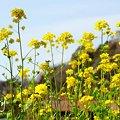 写真: 菜の花の咲く野原・・