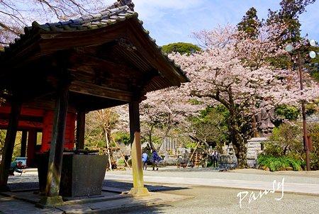 桜 kamakura 17
