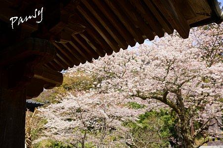 桜 kamakura 18
