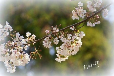 桜 kamakura 20
