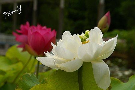 蓮の花・・8