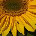 写真: 残ったひまわりに蟻!