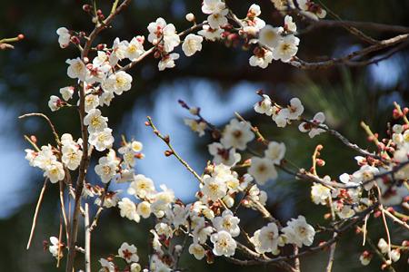 白梅が巡り咲く!(120303)