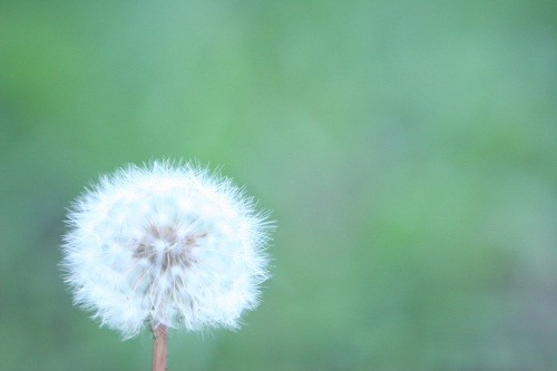 Photos: dandelion