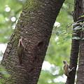 Photos: 110615-4巣立ち・巣を出たばかりの雛(右)(4/8)