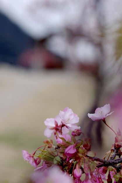 IMGP9016上関町、城山公園河津桜