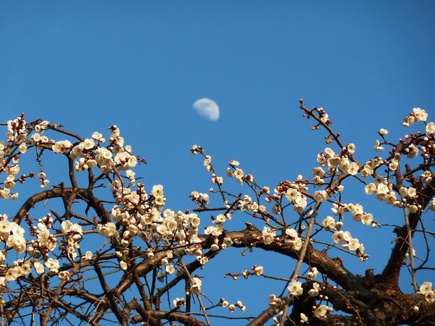 Photos: ~月と白梅~