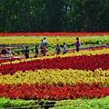 美瑛の花の丘
