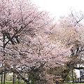 一心行の大桜~残念ながらかなり散っていた(3)
