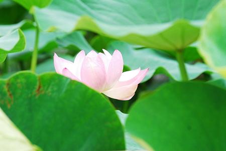 蓮の花01
