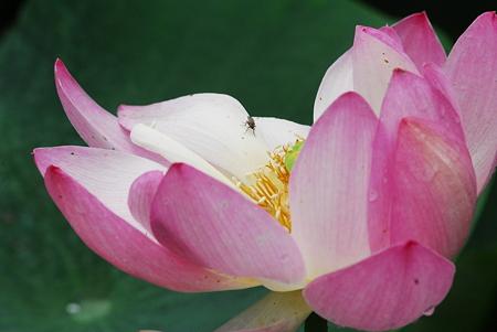 蓮の花02