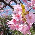 Photos: 山桜が咲いてます。 043