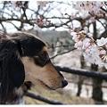 20120409 MAROと桜