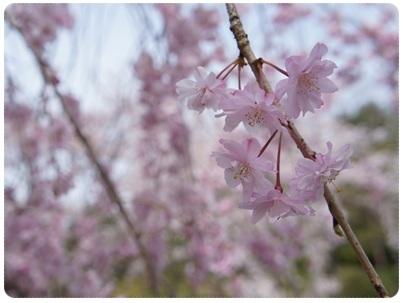20120415 枝垂れ桜
