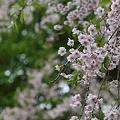八重紅枝垂れ (桜)