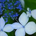 紫陽花 (卯辰山)