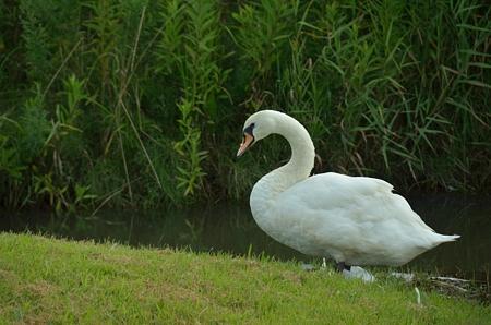 白鳥の風景2