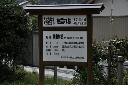 三重県大紀町天然記念物の枝垂れ桜・1
