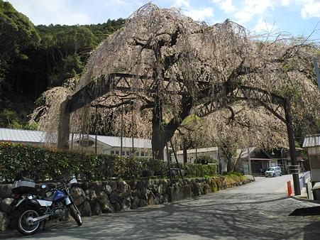 三重県大紀町天然記念物の枝垂れ桜・3
