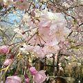 Photos: 港区芝・増上寺の桜