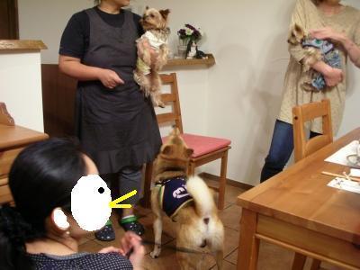 看板犬とお客さんのヨーキー