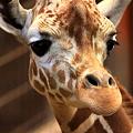 写真: キリンの瞳に大接近