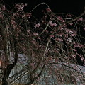 日本橋枝垂桜